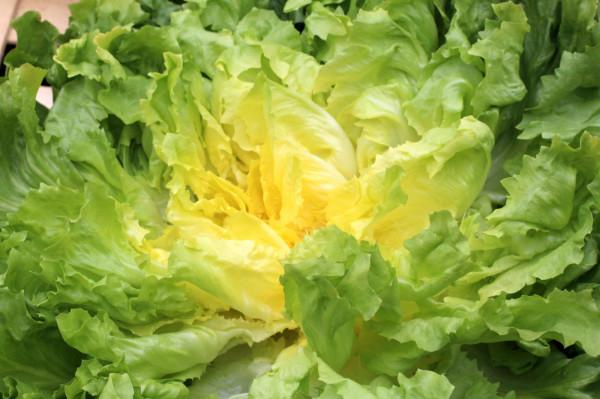 Salade Scarole de la ferme